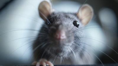 invasion de rat